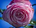 Pink Airball (6643593693).jpg