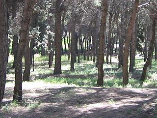 Pinos en zona escarpada del Cerro de los Ángeles.jpg