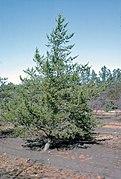 Pinus banksiana tree.jpg