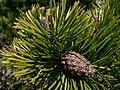 Pinus contorta 37636.JPG