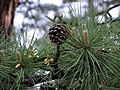 Pinus rigida foliagecone.jpg