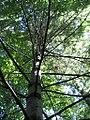 Pinus strobus 22zz.jpg