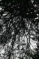 Pinus virginiana 11zz.jpg