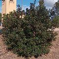 Pistacia lentiscus g1.jpg