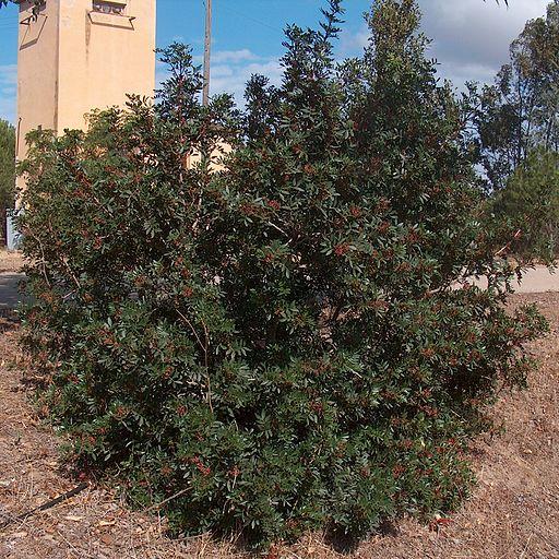 Mastix-Strauch.Pistacia lentiscus g1