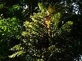 Plant Fern Basket Dryneria P1120347 02.jpg