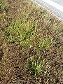Plantago coronopus sl51.jpg