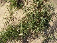Plante du littoral, fin juillet 2015 à Port-des-Barques 04.JPG