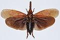 Planthopper (Zanna madagascariensis) (8541685944).jpg