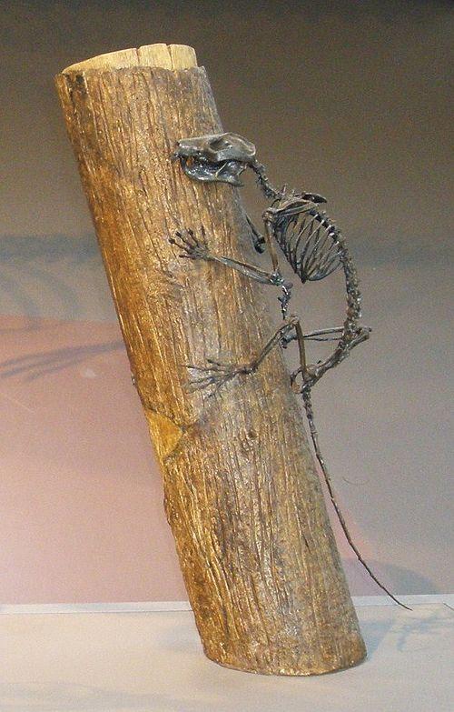 Plesiadapis