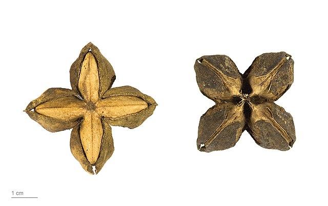 Fruta y semilla de sacha inchi Plukenetia volubilis