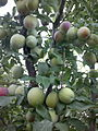 Plums on Tree1.jpg