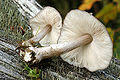 Pluteus.cervinus2.-.lindsey.jpg