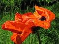 Podlaskie - Supraśl - Podsupraśl - Droga - Papaver orientale - flower side - 20110604.JPG