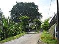 Pohon Besar di Nongkojajar, kiri ke Gunung Bromo, kanan ke Lembaga Pendidikan Baitani, Nongkojajar-Tutur-Pasuruan - panoramio.jpg