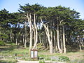 Point Lobos SF trees.JPG