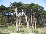 Point Lobos SF trees.JPG