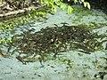 Poissons stockés dans un petit bassin pendant la vidange du grand bassin du parc de l'Aulnaye.jpg