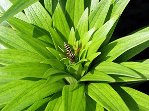 Polistes dominula - P. dominula on a lily plant