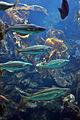 Pollachius pollachius aquarium1.jpg