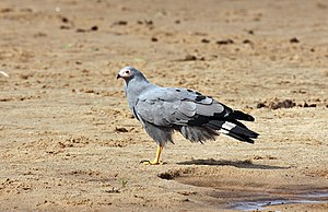 African harrier-hawk - Adult at Selous Game Reserve, Tanzania