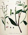 Polygonum mite — Flora Batava — Volume v20.jpg