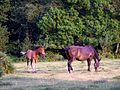 Ponies grazing on the edge of Little Honeyhill Wood, New Forest - geograph.org.uk - 206948.jpg