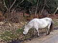 Pony grazing near Broomy Lodge, New Forest - geograph.org.uk - 336326.jpg