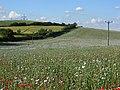 Poppies, Streatley - geograph.org.uk - 503370.jpg