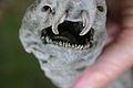Poroderma pantherinum03.jpg