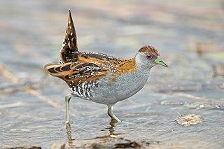 Baillons crake species of bird