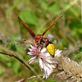 Potter or Mason Wasp. Delta species^ Eumeninae. - Flickr - gailhampshire (1).jpg