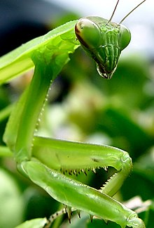 Praying Mantis by clearlyambiguous.jpg