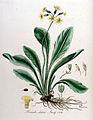 Primula elatior — Flora Batava — Volume v10.jpg