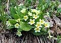 Primula vulgaris Huds.jpg