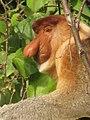 Proboscis monkey (6836590589).jpg
