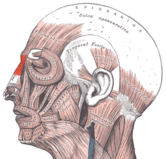 Procerus muscle - Muscles of the head, face, and neck. (Procerus visible at upper left, at top of nose.)