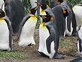 Profile King Penguin Colony Tierra del Fuego Chile.jpg