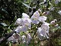 Prostanthera lasianthos Cotter River NNP 1111-ian fraser.JPG