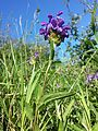Prunella grandiflora sl3.jpg