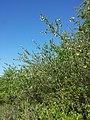 Prunus ×eminens sl22.jpg