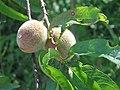 Prunus armeniaca. Albaricocal.jpg