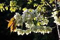 Prunus lannesiana 'Grandiflora'-Ukonzakura,ウコン桜8933.JPG