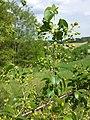 Prunus mahaleb sl21.jpg