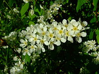 Prunus padus flos.jpg