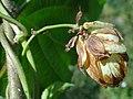 Pseudoperonospora cubensis a2 (1).jpg