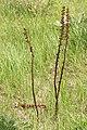 Pterospora andromedea 4762.JPG