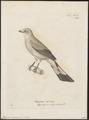 Ptilogonys cinereus - 1700-1880 - Print - Iconographia Zoologica - Special Collections University of Amsterdam - UBA01 IZ16600021.tif