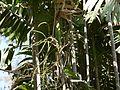 Ptychosperma macarthurii (4611181628).jpg