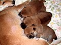 Puppies of a midget Shiba 3 - panoramio.jpg